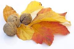 Tuercas y hojas de la generosidad de la caída Imagenes de archivo