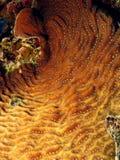 Tuerce en espiral el coral Foto de archivo