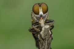 Tueur d'insecte mangeant la fourmi rouge image libre de droits