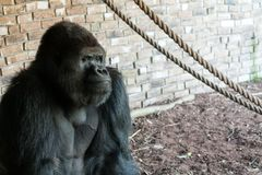 Tuff gorilla arkivbild