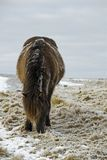 Tuff-Pony im harten Winter Stockbild