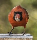Tuffa Guy Cardinal Arkivbild