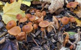 Tuffa läggsvampar Arkivfoton