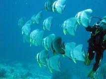 Tuffandosi con i pesci pipistrello in Maldive fotografia stock libera da diritti