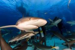 Tuffandosi con molti squali della scogliera tutt'intorno e mania furiosa d'alimentazione in Na immagine stock