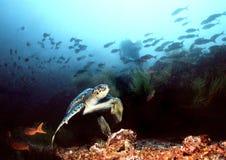 Tuffandosi nelle isole di Galapagos fotografia stock libera da diritti