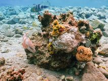 Tuffarsi il mondo subacqueo della barriera corallina Fotografia Stock