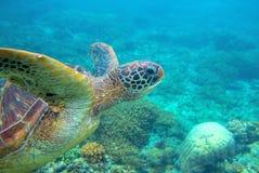 Tuffi della tartaruga verde sulla foto subacquea Primo piano della tartaruga di mare Animale oceanico in natura selvaggia fotografia stock libera da diritti