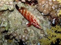 Tuffo di notte del Mar Rosso dell'epinefolo Fotografia Stock Libera da Diritti