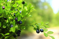 Tuft of bilberry in the forest Stock Photography