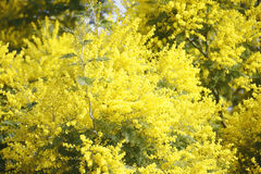 Tuft of blooming mimosa plant. On a winter day from spring temperatures and clear skies Royalty Free Stock Photography