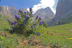 Tuft of gentians; gentiana asclepiadea. Rich flovering of gentians in a dolomitic valley Royalty Free Stock Photo