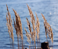 Tuft grass Calamagrostis epigeios on the blue water background.  Stock Photos