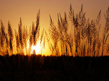 Tuft grass Calamagrostis epigeios on a sunset. Royalty Free Stock Photos