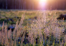 Tuft grass Calamagrostis epigeios on a sunset. Royalty Free Stock Images