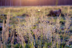 Tuft grass Calamagrostis epigeios on a sunset. Stock Image