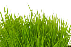Tuft of grass Royalty Free Stock Photo
