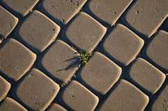 Tuft of grass in cobblestone Stock Photos