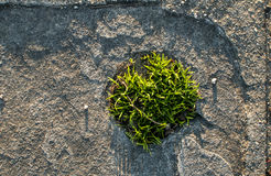 Tuft of grass in stone slab Royalty Free Stock Images