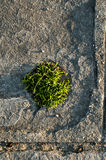 Tuft of grass in stone slab Stock Photography