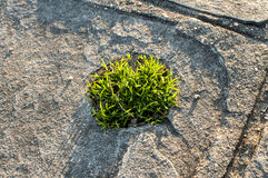 Tuft of grass in stone slab Stock Photo