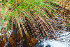 Tuft of grass at the water Royalty Free Stock Images
