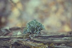 Tuft of green and blue moss growing on fallen tree royalty free stock image