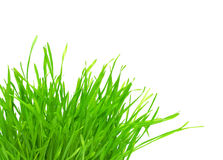 Tuft of green grass. Isolated Royalty Free Stock Image