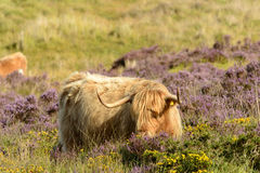 Tuft and horns of higland cattle , Dartmoor. Muzzle of hairy cattle grazing among heather bush in the moor Stock Image