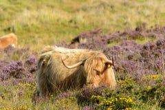 Tuft and horns of higland cattle , Dartmoor Stock Image