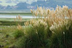 Tuft of pampas grass Royalty Free Stock Image