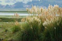 Tuft of pampas grass. Wild Cortaderia selloana at Santoarsh (North Coast of Spain Royalty Free Stock Image