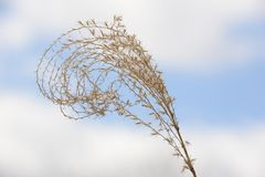 Tuft of pampas grass with cloudy sky Royalty Free Stock Photography