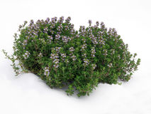 Tuft of thyme. Aromatic plant tuft photographed outside Royalty Free Stock Images