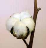 Tuft of white cotton ball directly in the plant of cotton planta Stock Images