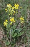 Tuft of yellow flowers (primula veris) Stock Photos