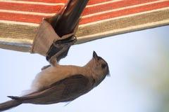 Tufted акробатика titmouse Стоковое фото RF