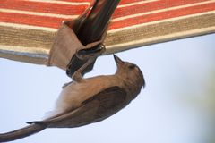 Tufted акробатика titmouse Стоковые Изображения RF