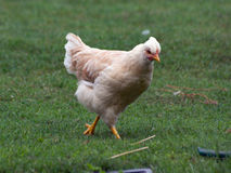 Tufted курица Стоковые Фотографии RF