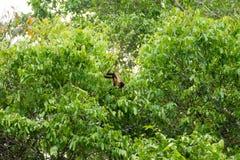 Tufted обезьяна capuchin на природе в Pantanal, Бразилии Стоковое Изображение RF