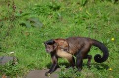 Tufted обезьяна Capuchin с Capuchin младенца на ем задняя часть ` s Стоковая Фотография RF
