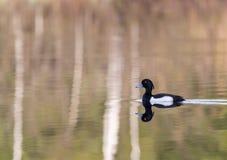 Tufted утка весной Стоковое Фото
