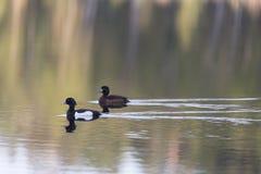 Tufted утка весной Стоковые Изображения RF