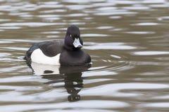 Tufted утка и отражение Стоковые Фото