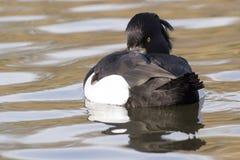 Tufted утка мельком взглядывая ОН назад на общее озере кладбищ, Саутгемптоне Стоковые Фото