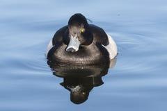 Tufted утка на общее озере кладбищ, Саутгемптоне Стоковая Фотография RF