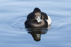 Tufted утка на общее озере кладбищ, Саутгемптоне Стоковое Изображение