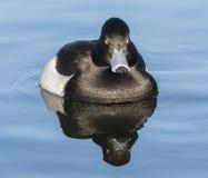Tufted утка на общее озере кладбищ, Саутгемптоне Стоковое Фото