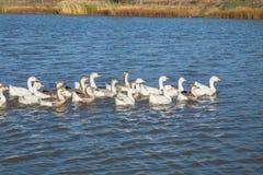 Tufted утка на озере Стоковая Фотография RF