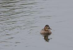 Tufted утка Стоковое фото RF